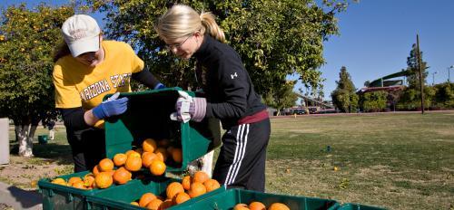 volunteers harvesting oranges on the ASU campus