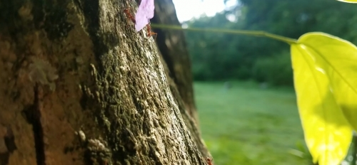Leaf cutter ants on a tree branch