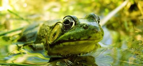 A frog sits mostly under the surface of a pond.