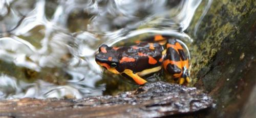 The Talamancan harlequin frog