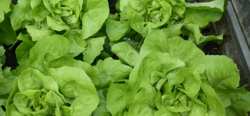 Lettuce, part of the world's food supply chain.