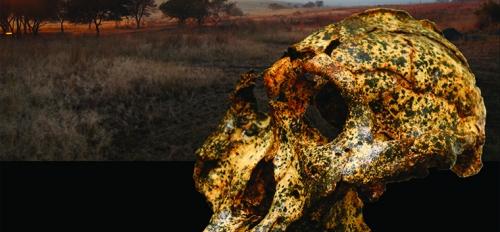 paranthropus skull