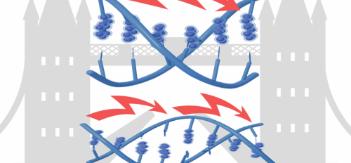 Electrons can either flow or hop across DNA, depending on the sequence