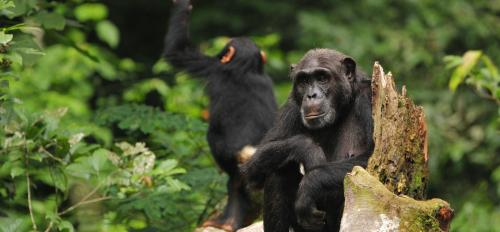 Two chimpanzees sit on a log.