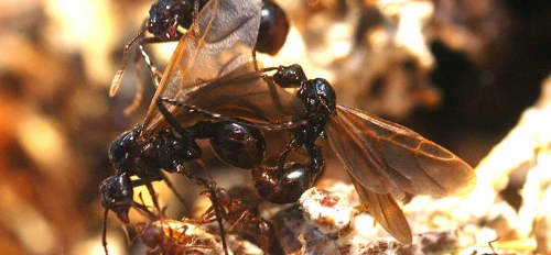 A close-up picture of an invasive parasitic ant species