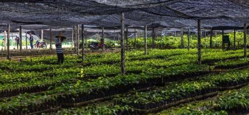 Dipterocarp seedlings