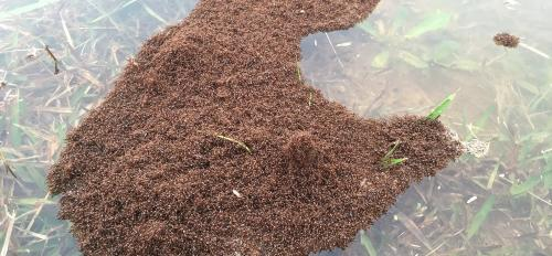 Fire ants float in a big clump on a river
