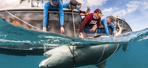 James Sulikowski and students examine a pregnant tiger shark with ultrasound