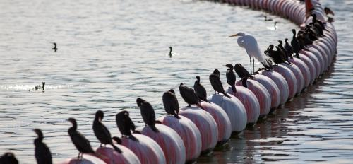 birds sitting on water barrier at Tempe Town Lake