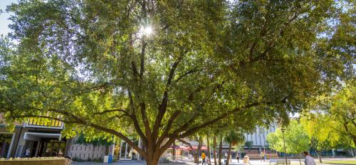 Southern live oak on Katy Mall in Tempe