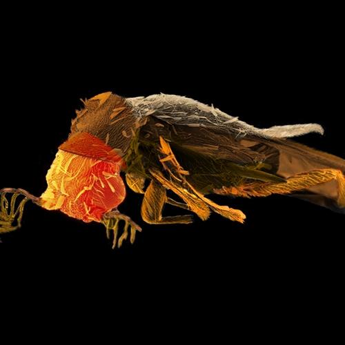 Glow Worm Beetle