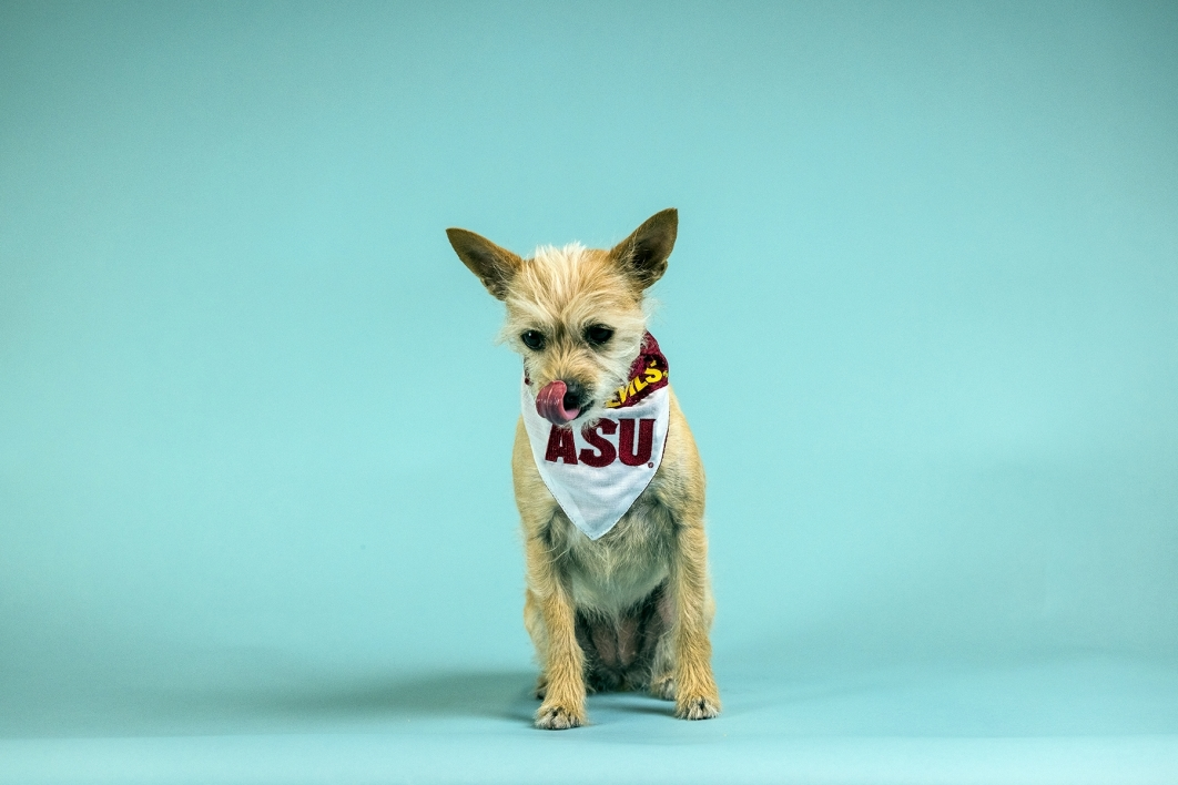 Portrait of small terrier-mix dog on light blue background