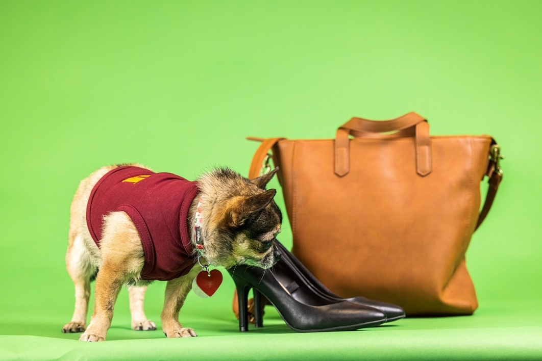 portrait of pug-mix dog on green background next to shoes and a purse