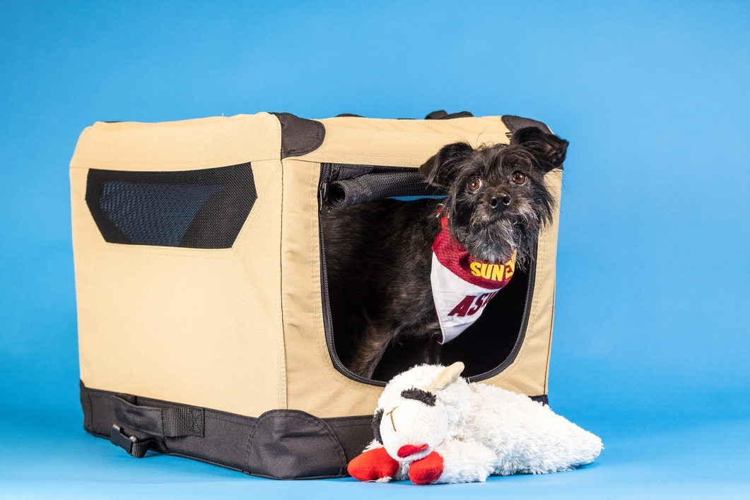 portrait of small black dog in carrier with stuffed toy against blue background