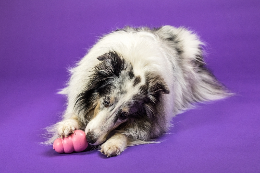 portrait collie dog chewing on a toy against purple background