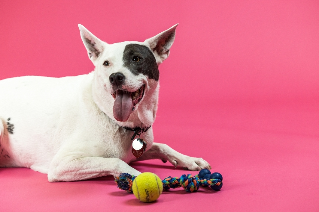 portrait of black and white dog with toys against red background