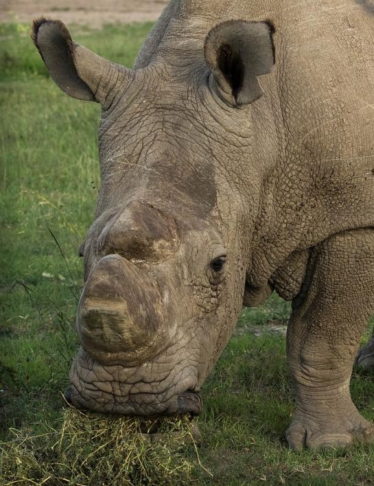 Sudan, the last male white rhino, is now deceased.