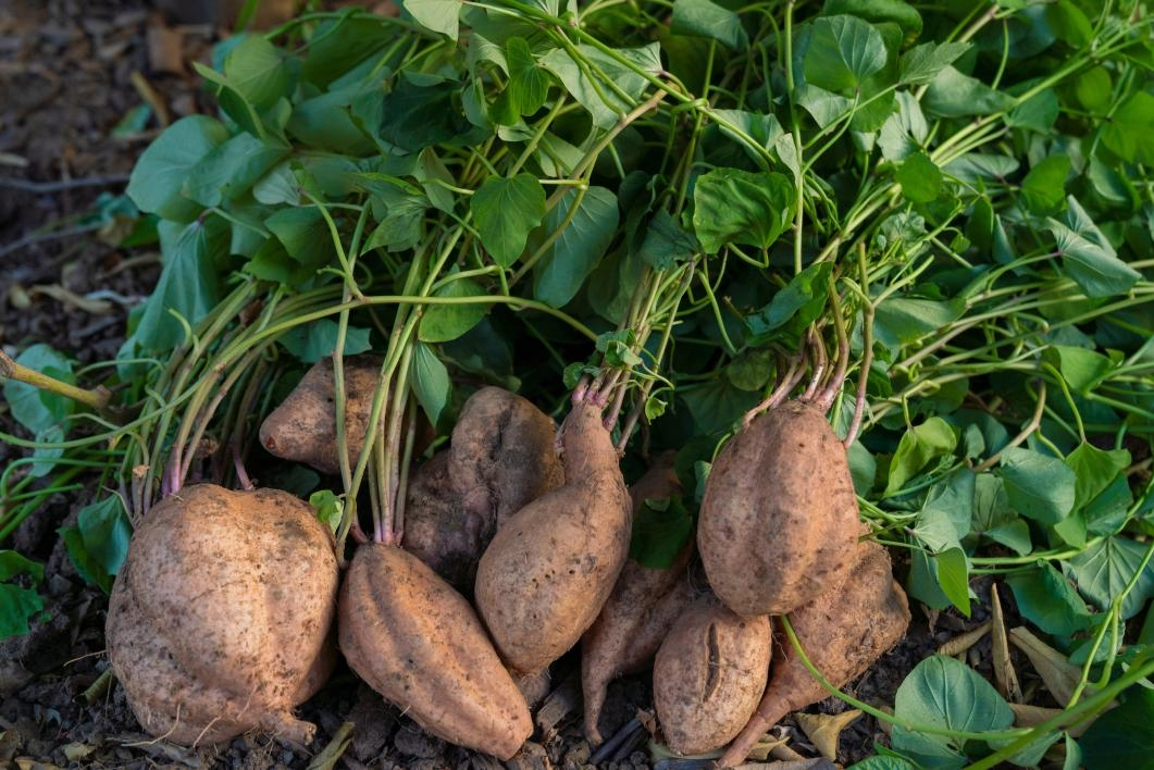 Sweet potatoes on the ground