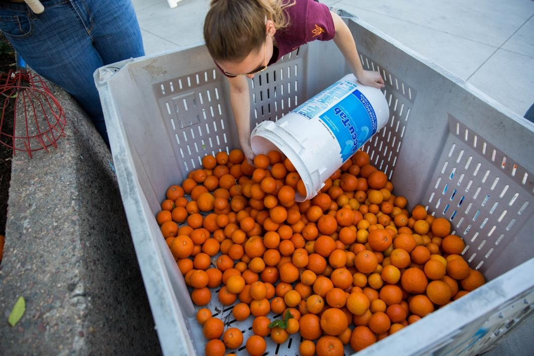 oranges are collected in bins