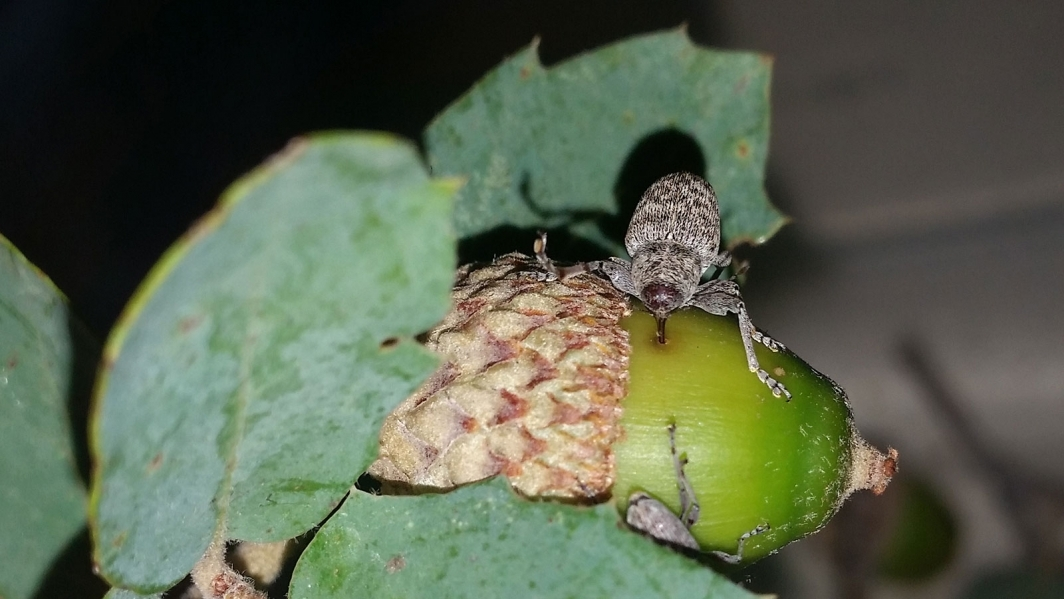 A weevil drills into an acorn.