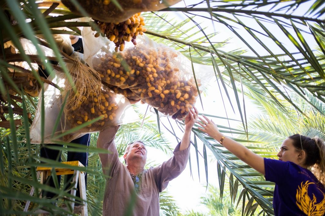 Volunteers harvest dates.