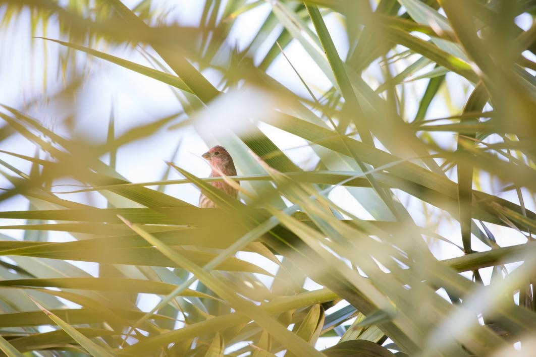 A bird watches the date harvest on the Polytechnic campus