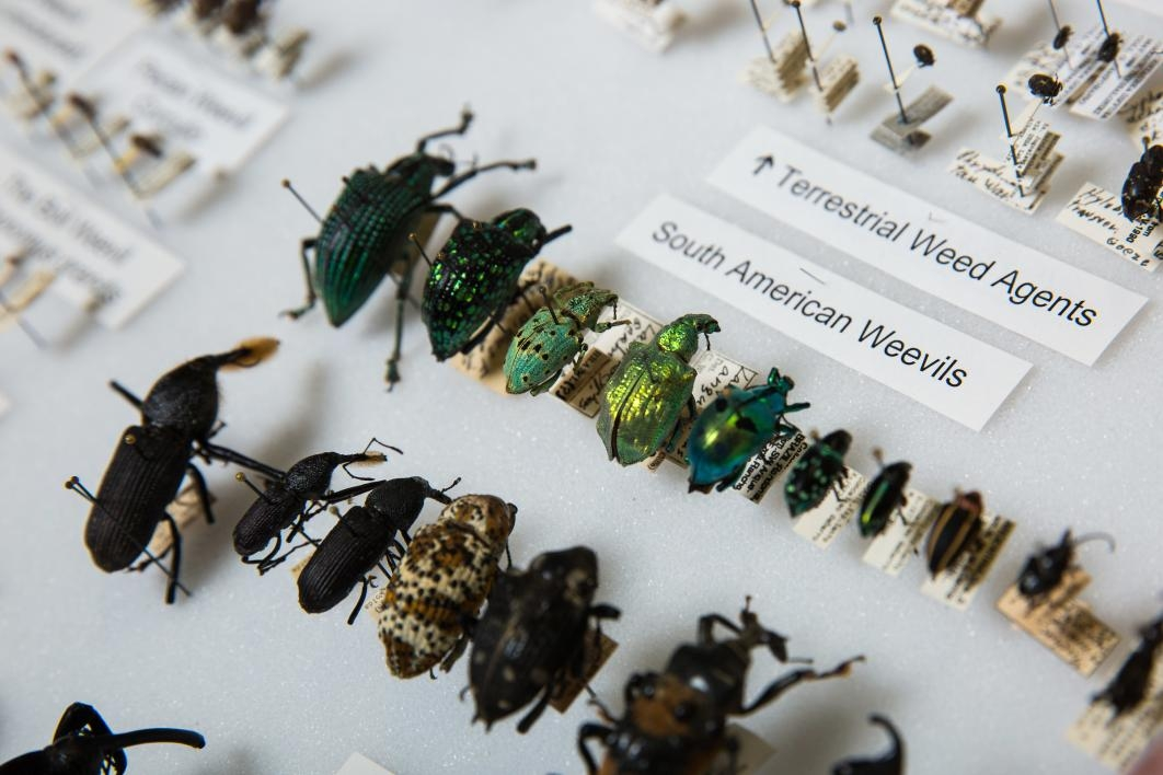 Weevils in a case