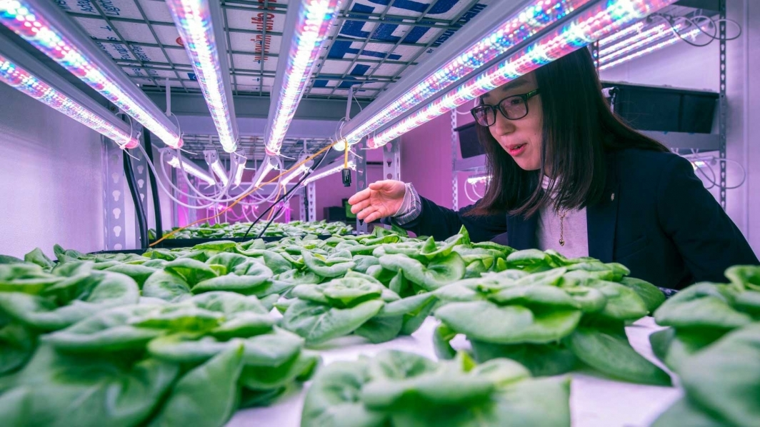 Yujin Park checks lettuce in ASU vertical farm