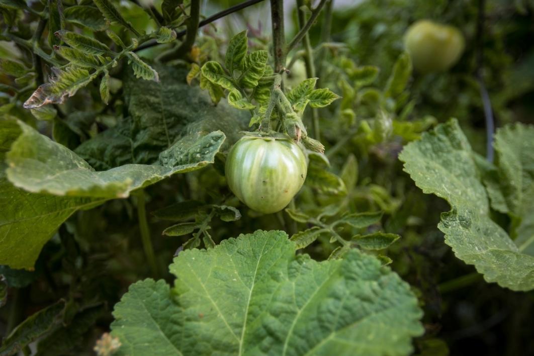 Student-planted tomatoes ASU gardening class