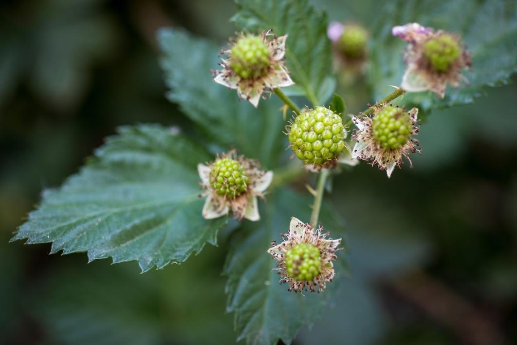 Blackberries student garden ASU