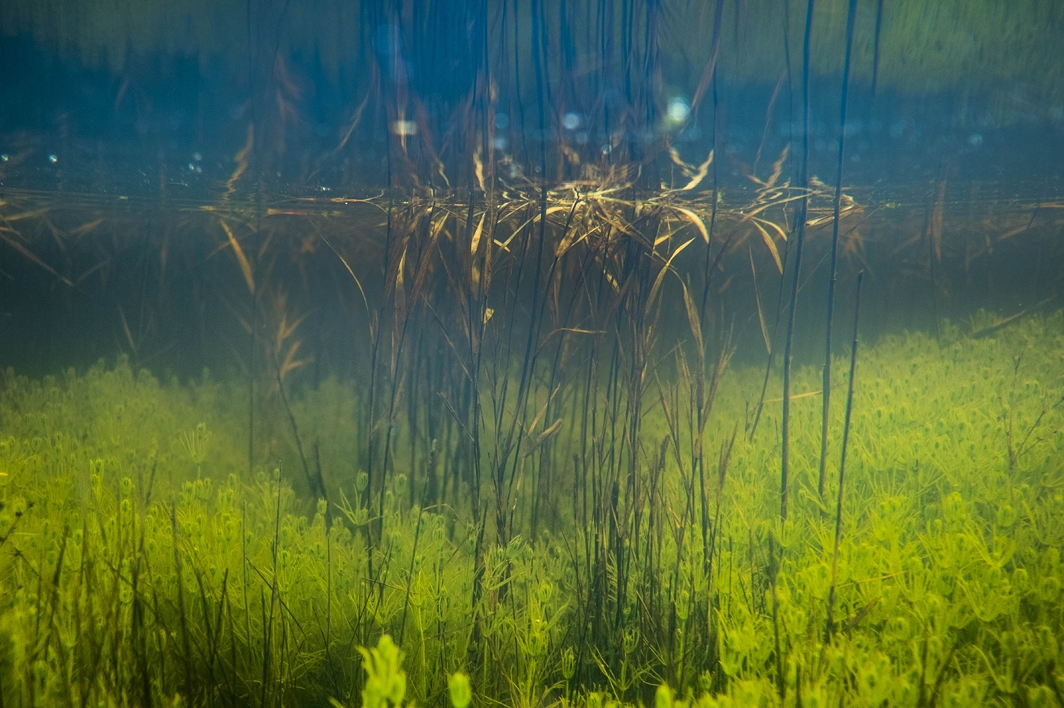In aquatic environments, plants fight for light and carbon to maintain photosynthetic activity.