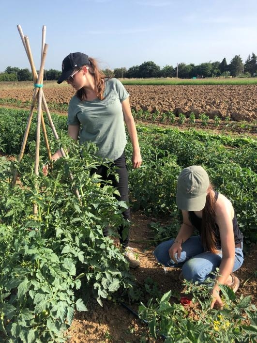 Two ASU students pruning tomato plants in Italy