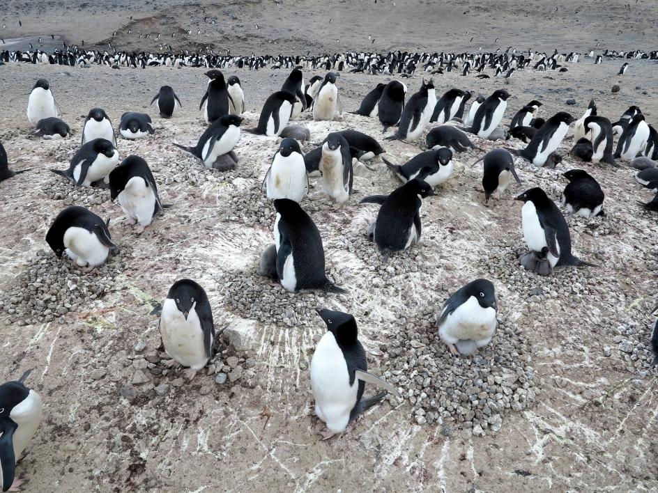 penguins nesting