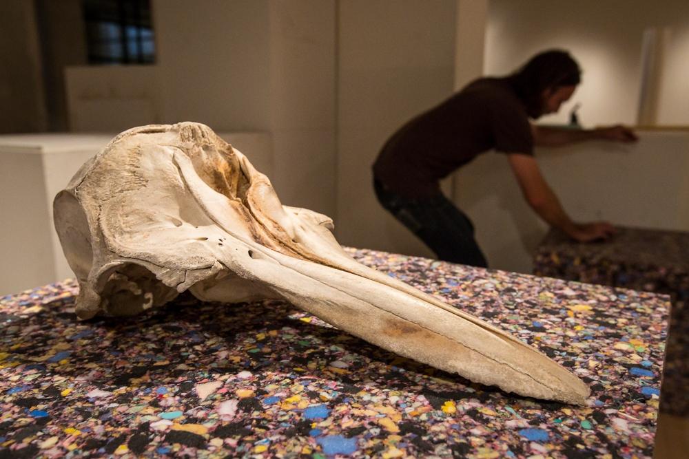 Dolphin Skull on exhibit