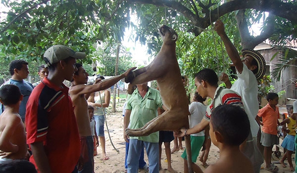Puma are killed for pelts and sport