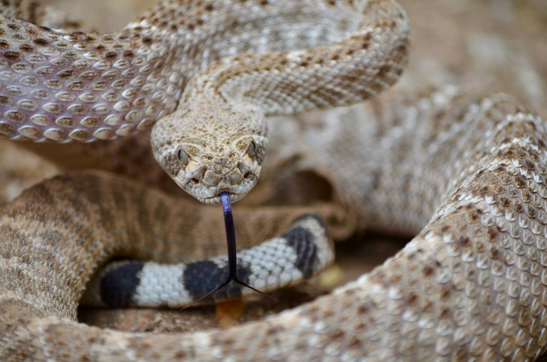 How to avoid being bit by a rattlesnake