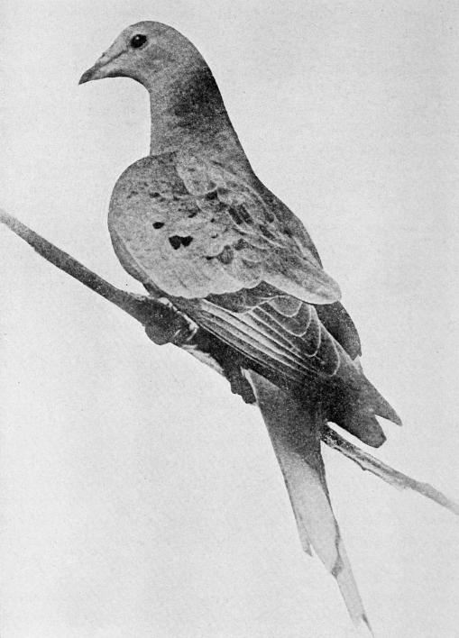 """Martha,"" the last passenger pigeon."
