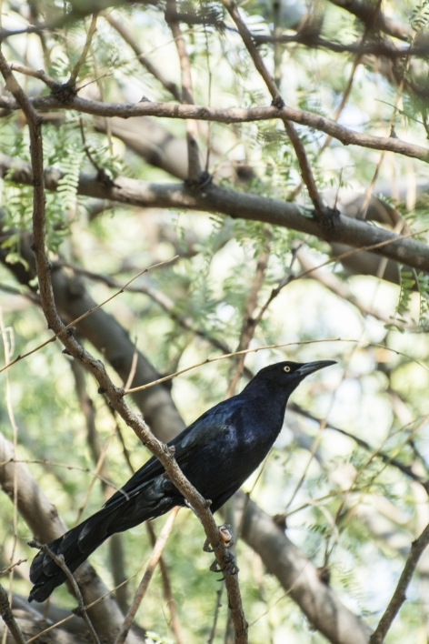 A male grackle sits in a palo verde tree on the Tempe campus. Researchers find the birds and observe their behavior from afar.