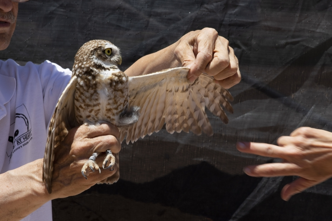 Greg Clark holds burrowing owl by the legs in one hand and stretches out wing with other hand