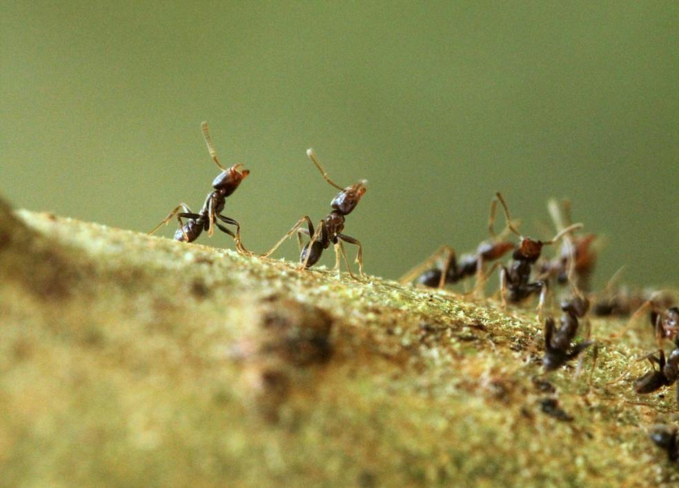 Azteca ants