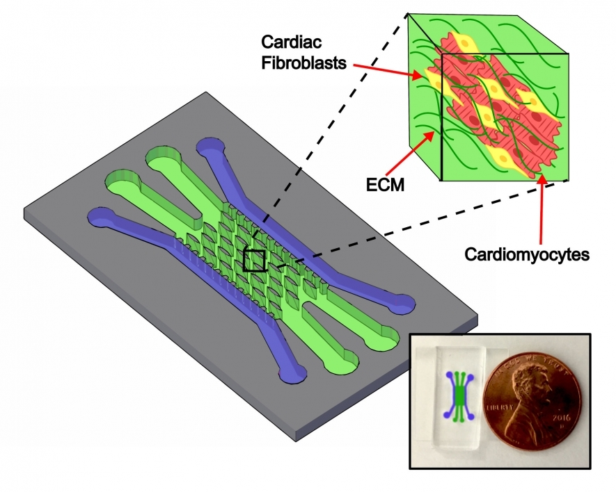 A graphic showing the Nikkhah Lab heart-on-a-chip platform's channel structure. Outer channels shown in purple are used to introduce cells and inner green channels are populated with elliptical microposts around which cells organize into tissues.