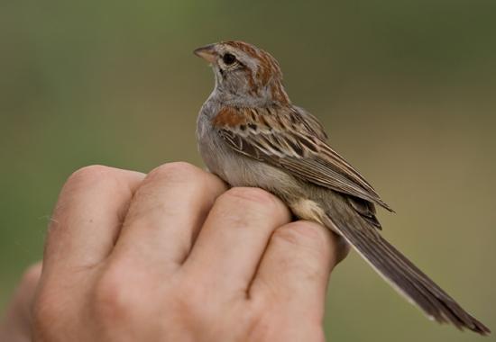 hand holding a sparrow