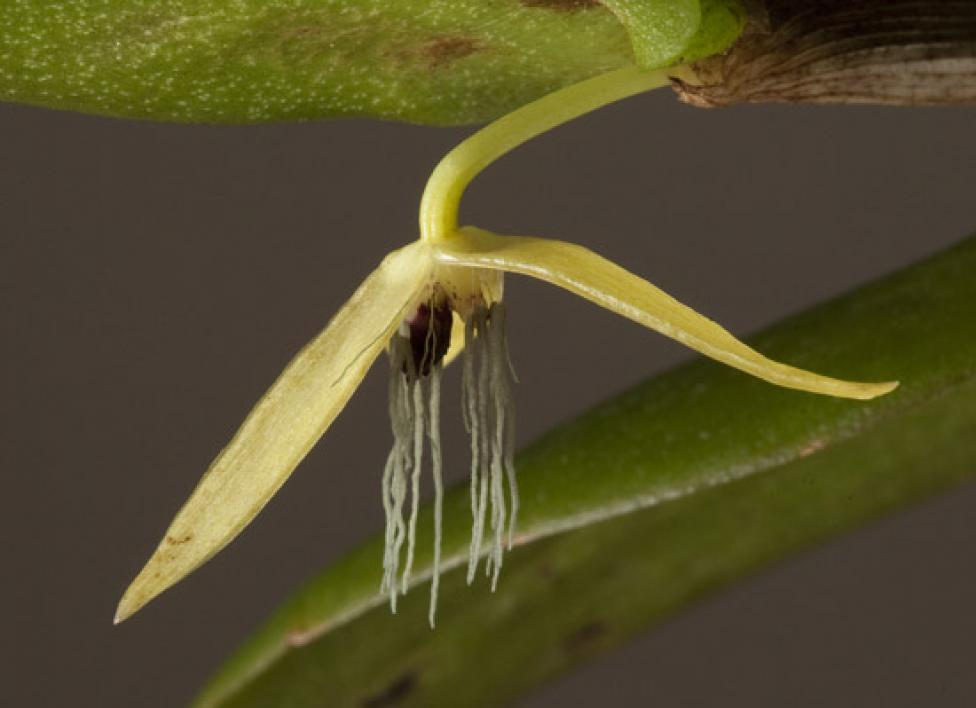 Night-blooming orchid. <i>Bulbophyllum nocturnum</i>