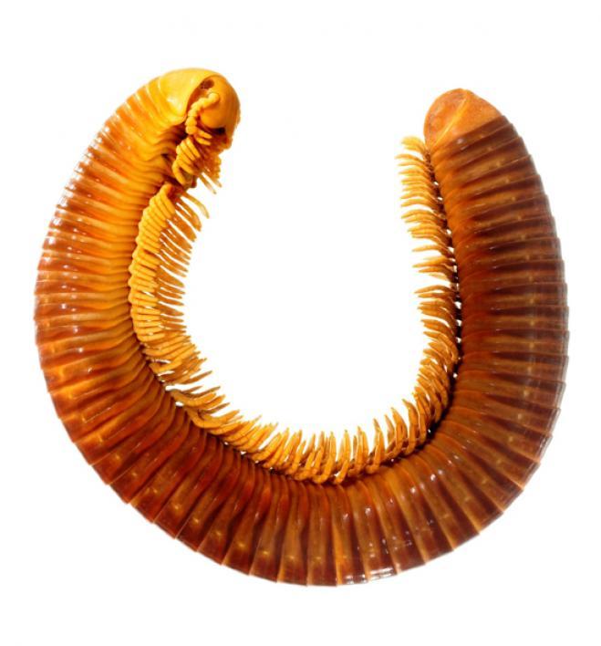 Giant millipede. <i>Crurifarcimen vagans</i>