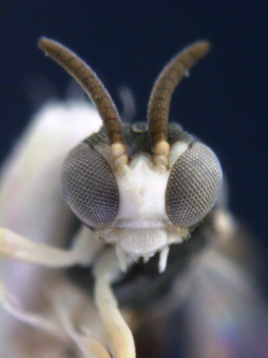 Parasitic wasp. <i>Kollasmosoma sentum</i>