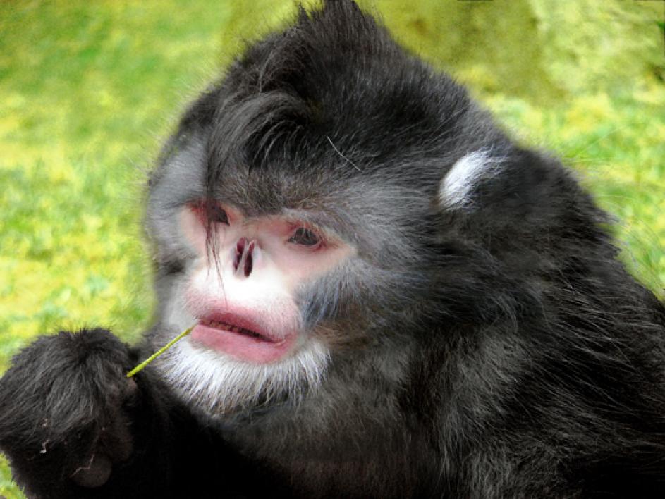 Sneezing monkey. <i>Rhinopithecus strykeri</i>