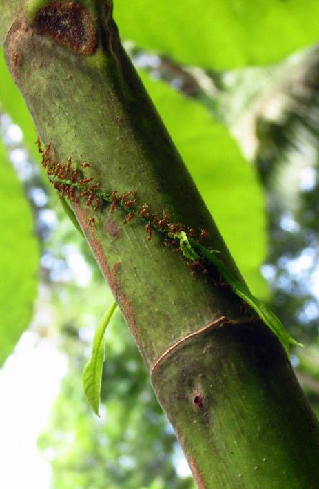 Azteca ant workers attacking an encroaching vine