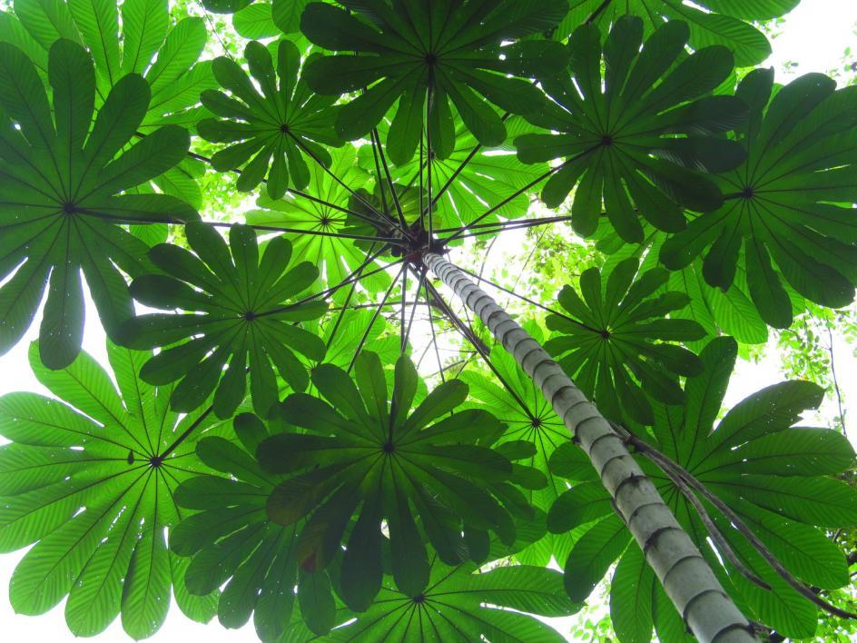 Cecropia tree canopy, Soberania National Park, Panama