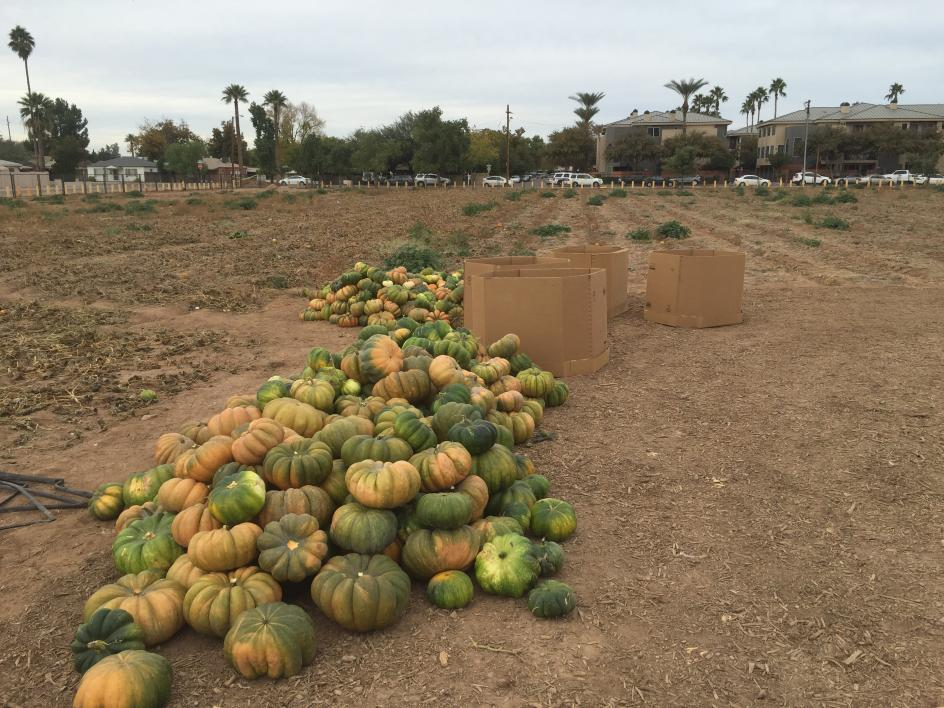 Pumpkins are harvested in a field.