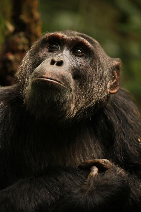 Jackson-Ngogo chimpanzee community